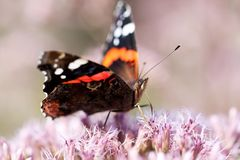 Bright butterfly sits on a flower. Beautiful funny butterfly sitting on a fluffy pink flower stock photos