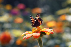 Bright butterfly sitting on an flower. Bright butterfly sitting on an orange flower in summer royalty free stock photo