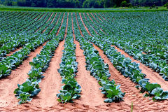 Bright Cabbage Crop in Wisconsin, USA Royalty Free Stock Image