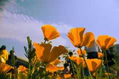 Bright California poppy Royalty Free Stock Photo
