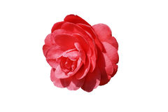Bright Camellia flower vector. Vector drawing of a lush Camellia flower on white background Stock Photography