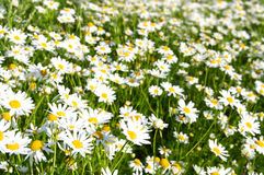 Bright camomiles on summer meadow Royalty Free Stock Image