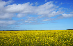 Bright canola field with bright blue sky Stock Image