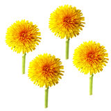 Bright cap dandelion dry  flower isolated elements, white backgr. Ound for scrapbook, object, roughage spring  leaf Stock Image