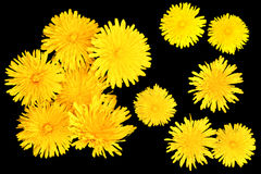 Bright cap dandelion flower object isolated elements, black back. Ground for scrapbook Royalty Free Stock Images