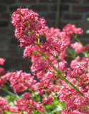 Bright Centranthus Ruber Flowers Stock Images