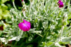 Cerise bloom and gray-green foliage of Lychnis coronaria. Bright Cerise bloom of Lychnis coronaria, also known as, Rose campion, contrasts with its gray-green Royalty Free Stock Images