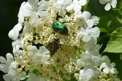 Bright Chafer Beetles on Snowball Blossons. Bright Chafer Beetles on white Snowball blossoms, on a sunny summer day Royalty Free Stock Photography