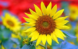 Bright and cheerful sunflower on a sunny day stock image