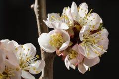 Bright cherry blossom flowers closeup on dark background. Bright cherry blossom flowers closeup Stock Image
