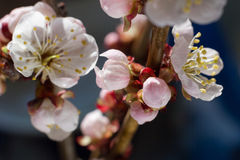 Bright cherry blossom flowers closeup on dark background. Bright cherry blossom flowers closeup Royalty Free Stock Photography