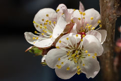 Bright cherry blossom flowers closeup on dark background. Bright cherry blossom flowers with yellow stamens closeup on dark background Stock Image