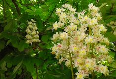 Bright chestnut flowers in contrast with lush green leaves stock images
