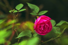 The bright Chinese rose Stock Photos