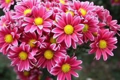 Bright chrysanthemum flowers Royalty Free Stock Photography
