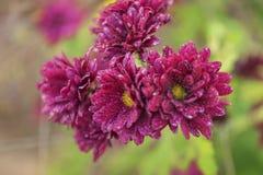 Bright chrysanthemums Stock Photography