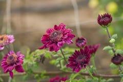 Bright chrysanthemums Stock Image