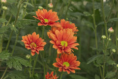 Bright chrysanthemums Stock Photo