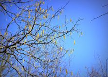 Bright clear blue sky, tree branches in spring. Alder and yellow flowers, background for design, spring sky, tree and branches against the blue sky, purity and stock images