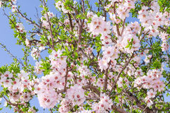Bright clear stock photo spring bloom of apricot tree. On the blue sky as background Stock Images