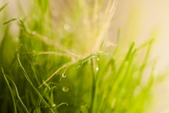 Bright close-up leaves of grass with dew Stock Image