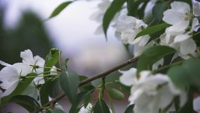 Bright close up view of white wild apple tree blossom in city streets in spring time. Stock footage. Apple tree branch stock footage