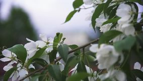 Bright close up view of white wild apple tree blossom in city streets in spring time. Stock footage. Apple tree branch stock video