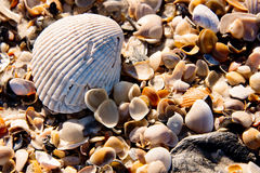 Bright closeup of a scallop shell on top of a bed of assorted smaller shells from a Florida beach Stock Photography