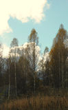 Bright clouds over the autumn birch grove Royalty Free Stock Photos