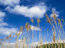 Wheat Field And Bright Clouds. Bright cloudy blue sky over golden wheat field stems on a beautiful day Stock Image