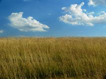 Bright Cloudy sky and farm field. Golden farmland and blue sky with fluffy clouds, equal split horizontally Royalty Free Stock Images