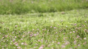 Bright clover flower growing in green grass margin. Bright fresh spring clover flower growing in green grass margin on summer day, close up stock footage