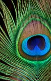 The bright color. On a dark background, close-up shows a peacock feather. Under the bright light clearly visible to the texture and color transitions Royalty Free Stock Images