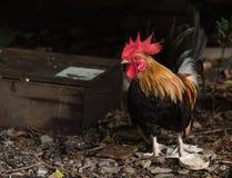 A bright color cock Stock Photo