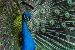Bright color peacock. Royalty Free Stock Photos
