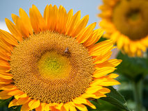 Bright color sunflower. Big bright yellow sunflower with a bee on Royalty Free Stock Images