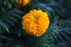 Yellow Marigold Flower Decoration. Bright color to Freshen up the Garden Stock Images