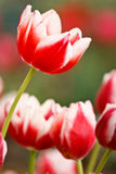 Bright color tulip Royalty Free Stock Photo