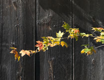 Bright Colored Autumn Maple Leaves against old Gray Barn Wood. Branch with brightly colored Maple leaves against old weathered barn wood Royalty Free Stock Images