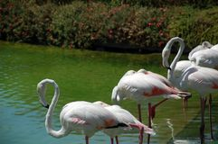 Bright colored elegant flamingos Stock Photo