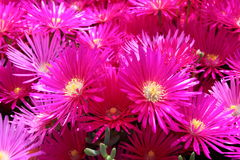 Bright colored flowers Royalty Free Stock Images