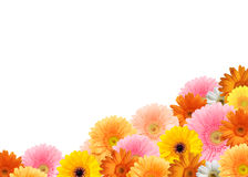 Bright colored gerbera flowers. Bright colored gerberas on a white background stock photography