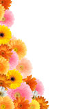 Bright colored gerbera flowers. Bright colored gerberas on a white background stock image