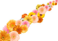 Bright colored gerbera flowers. Bright colored gerberas on a white background royalty free stock image