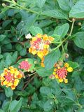 Bright colored lantana Royalty Free Stock Images