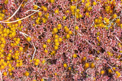 Bright colored moss macro. Different types of bright colored moss Royalty Free Stock Photography