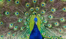 Bright Colored Peacock Royalty Free Stock Photo