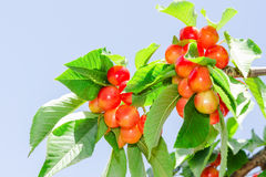 Bright colored rainier white cherry berry Royalty Free Stock Photo