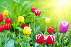 Bright colored tulips Royalty Free Stock Image