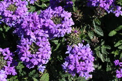 Bright colored Verbena at Central Park Regina. In September Royalty Free Stock Images